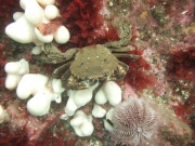 Velvet-swimming-crab