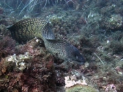 Free swimming moray eel